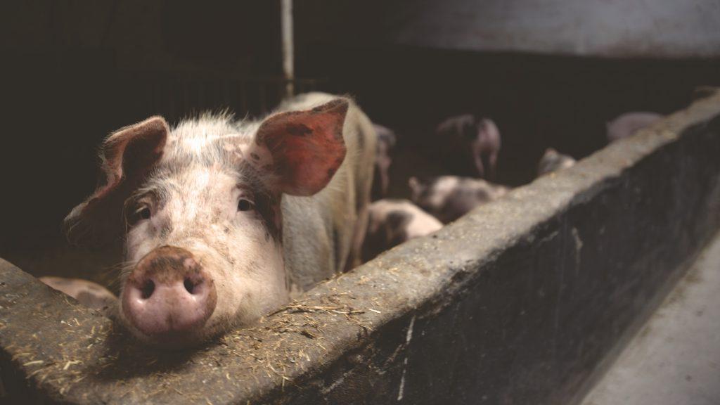 pomade terbuat dari lemak babipomade terbuat dari lemak babi